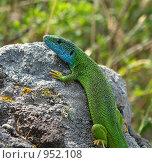 Зелёная ящерица на камне. Стоковое фото, фотограф Роман Чабан / Фотобанк Лори