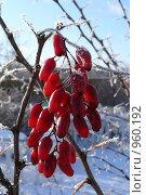 Зимний барбарис. Стоковое фото, фотограф Константин Сапронов / Фотобанк Лори