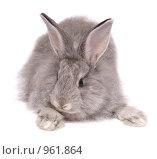 Купить «Серый кролик», фото № 961864, снято 27 мая 2009 г. (c) Насыров Руслан / Фотобанк Лори