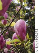 Купить «Тюльпанное дерево», фото № 966372, снято 19 апреля 2009 г. (c) Жанета Карелина / Фотобанк Лори