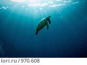 Купить «Черепаха парит в морской воде, пронизанной лучами солнца», фото № 970608, снято 19 марта 2008 г. (c) Татьяна Белова / Фотобанк Лори