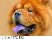 Купить «Портрет рыжего чау-чау», фото № 972192, снято 27 июня 2009 г. (c) Абрамова Ксения / Фотобанк Лори