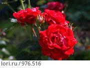 Розы. Стоковое фото, фотограф Дмитрий Жеглов / Фотобанк Лори