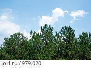 Купить «Хвойные деревья», фото № 979020, снято 6 августа 2008 г. (c) Сергей Сухоруков / Фотобанк Лори