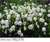 Купить «Белый карпатский колокольчик цветёт на даче под дождём», эксклюзивное фото № 982076, снято 24 июня 2009 г. (c) Тамара Заводскова / Фотобанк Лори
