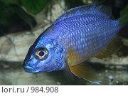 Купить «Цихлида (самец) аулонакара корнелли - синяя аквариумная рыбка», фото № 984908, снято 14 июля 2009 г. (c) Erudit / Фотобанк Лори
