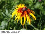 Июльские цветы, Эхинацея. Стоковое фото, фотограф Елена Колтыгина / Фотобанк Лори