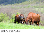 Купить «Пара коров», фото № 987060, снято 9 мая 2009 г. (c) Юрий Брыкайло / Фотобанк Лори