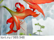 Купить «Пара распустившихся цветов гиппеаструма», фото № 989948, снято 22 марта 2009 г. (c) Александр Куличенко / Фотобанк Лори