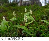 Купить «Майник двулистный (Maianthemum bifolium)  в зарослях шикши», эксклюзивное фото № 990540, снято 6 июля 2009 г. (c) Тамара Заводскова / Фотобанк Лори