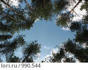 """Купить «Лесной """"двор-колодец"""". Взгляд снизу на вершины сосен», фото № 990544, снято 21 июля 2009 г. (c) Заноза-Ру / Фотобанк Лори"""