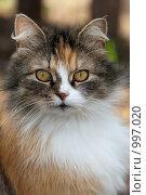 Купить «Кошка домашняя, Felis catus», фото № 997020, снято 10 мая 2009 г. (c) Василий Вишневский / Фотобанк Лори