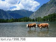 Купить «Два быка на реке Чулышман Горный алтай», фото № 998708, снято 15 июля 2009 г. (c) Яна Королёва / Фотобанк Лори