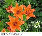 Цветы оранжевые лилии. Стоковое фото, фотограф Александр Евдокимов / Фотобанк Лори