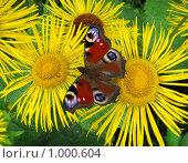 Бабочка павлиний глаз на цветах девясила. Стоковое фото, фотограф Iv Merlu / Фотобанк Лори