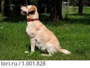 Купить «Лабрадор ретривер», фото № 1001828, снято 26 июля 2009 г. (c) Asja Sirova / Фотобанк Лори