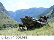 Купить «Козы пасутся в Челушманской долине Горного Алтая», эксклюзивное фото № 1006692, снято 15 июля 2009 г. (c) Яна Королёва / Фотобанк Лори
