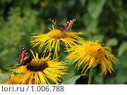 Июльские цветы. Гелеопсис. Бабочки. Стоковое фото, фотограф Елена Колтыгина / Фотобанк Лори