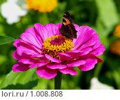Бабочка на циннии. Стоковое фото, фотограф Вячеслав Маслов / Фотобанк Лори