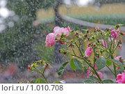 Купить «Розы под дождем», фото № 1010708, снято 30 июля 2009 г. (c) Ольга Шаран / Фотобанк Лори
