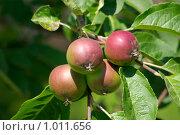 Молодые яблоки. Стоковое фото, фотограф Алексей Баранов / Фотобанк Лори
