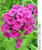 Купить «Розовые флоксы», фото № 1011956, снято 26 июля 2009 г. (c) Neta / Фотобанк Лори