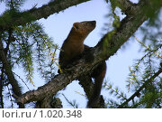 Купить «Сибирский соболь», фото № 1020348, снято 31 июля 2000 г. (c) Алексей Матвеев / Фотобанк Лори