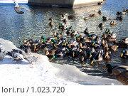 Купить «Утки на пруду», фото № 1023720, снято 2 января 2009 г. (c) Estet / Фотобанк Лори