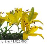 Купить «Жёлтая лилия на белом фоне», фото № 1025000, снято 24 июля 2009 г. (c) Николай Михальченко / Фотобанк Лори