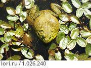 Жаба. Стоковое фото, фотограф Nataliya Sabins / Фотобанк Лори