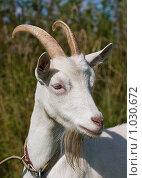 Купить «Портрет белой козы», фото № 1030672, снято 9 августа 2009 г. (c) Алексей Крылов / Фотобанк Лори