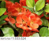 Цветки японской айвы. Стоковое фото, фотограф Дмитрий Янкин / Фотобанк Лори