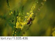 Купить «Медоносная пчела увлеченно собирает нектар с желтого донника», фото № 1035436, снято 3 июля 2009 г. (c) Анастасия Некрасова / Фотобанк Лори