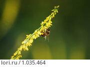 Купить «Медоносная пчела увлеченно собирает нектар с желтого донника», фото № 1035464, снято 3 июля 2009 г. (c) Анастасия Некрасова / Фотобанк Лори