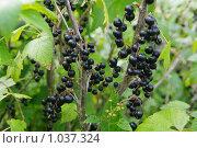 Черная смородина. Стоковое фото, фотограф Мишурова Виктория / Фотобанк Лори