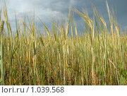 Купить «Ячмень в поле», фото № 1039568, снято 16 августа 2009 г. (c) Мударисов Вадим / Фотобанк Лори