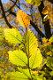 Ветка с желтыми листьями, фото № 1041708, снято 21 октября 2008 г. (c) Максим Горпенюк / Фотобанк Лори