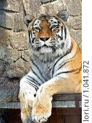 Купить «Тигр Амурский. Семейство кошачьих.», фото № 1041872, снято 9 августа 2009 г. (c) Даниил Петров / Фотобанк Лори