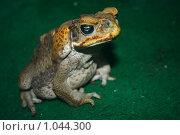 Купить «Большая ядовитая жаба ага», фото № 1044300, снято 13 мая 2008 г. (c) Александр Куличенко / Фотобанк Лори
