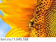 Купить «Пчелка собирает мед», фото № 1045188, снято 1 августа 2009 г. (c) Александр Гаврилов / Фотобанк Лори