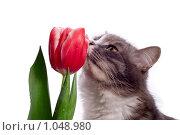 Кошка с тюльпаном на белом фоне. Стоковое фото, фотограф Наталья Бидюкова / Фотобанк Лори
