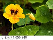 Цветок настурции с бутоном на фоне зеленых листьев. Стоковое фото, фотограф Наталья Наточина / Фотобанк Лори