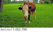 Купить «Корова», эксклюзивное фото № 1062788, снято 25 июля 2009 г. (c) lana1501 / Фотобанк Лори