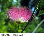 Купить «Альбиция (ленкоранская акация) Albizzia julibrissin», фото № 1063028, снято 9 октября 2004 г. (c) Irina Opachevsky / Фотобанк Лори
