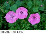Три красивых цветка на городской клумбе. Стоковое фото, фотограф Федор Болба / Фотобанк Лори