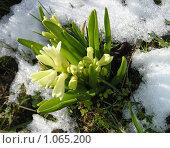 Гиацинт в снегу. Стоковое фото, фотограф Татьяна Иванова / Фотобанк Лори