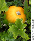 Купить «Тыква созрела», фото № 1066360, снято 19 августа 2009 г. (c) Neta / Фотобанк Лори