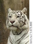 Купить «Белый тигр», фото № 1073800, снято 28 августа 2008 г. (c) Светлана Полубинская / Фотобанк Лори