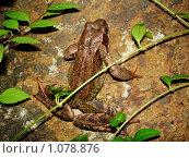 Лягушка сидит на камне. Стоковое фото, фотограф Дарья Фролова / Фотобанк Лори