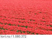 Миллион алых тюльпанов. Стоковое фото, фотограф Иван Новиков / Фотобанк Лори